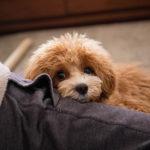 プロのカウンセリングで愛犬の「分離不安症」疑惑が。症状や原因、対策について。