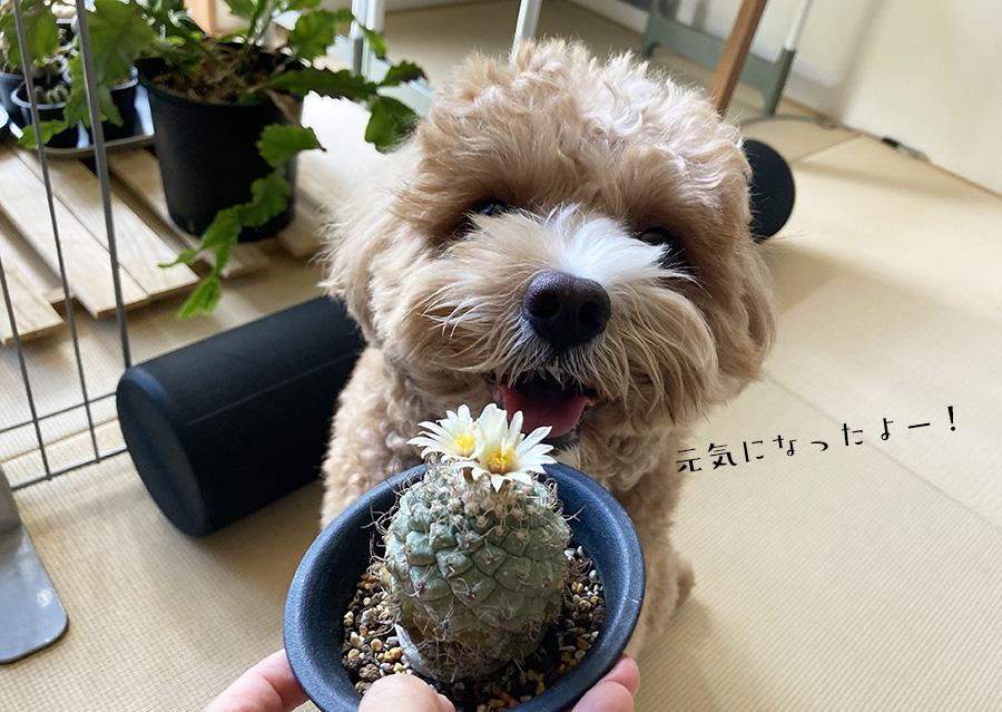 開花したサボテン(菊水)とブラン