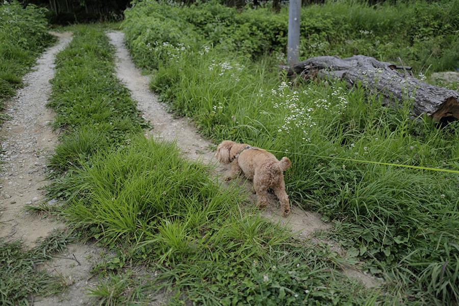草むらを散歩するブラン
