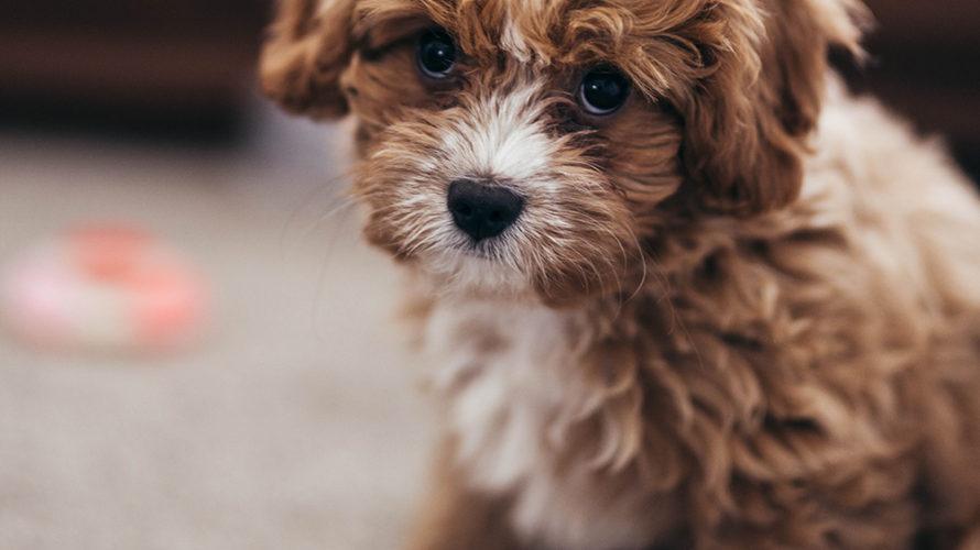 体験記❷ | しつけに悩む日々。体調不良で育犬ノイローゼに。