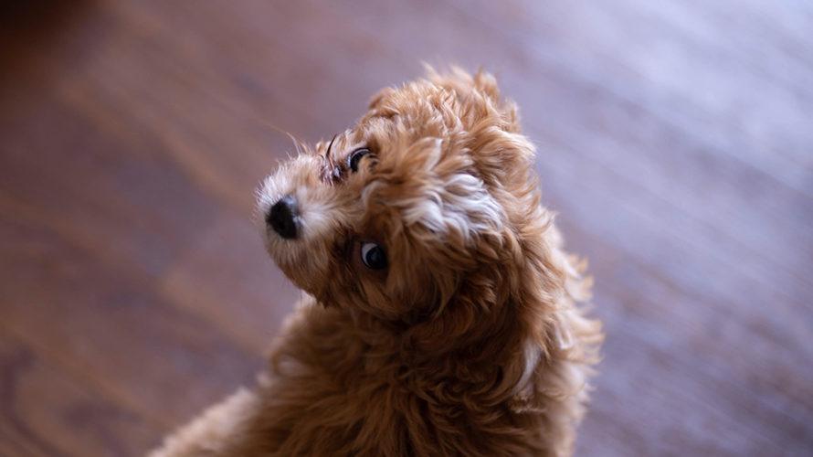 体験記❶ | ブランとの出会いと育犬ノイローゼのはじまり