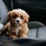 MIX犬【キャバプー】を詳しく解説!性格・成長した大きさ・抜毛・病気・無駄吠えなど