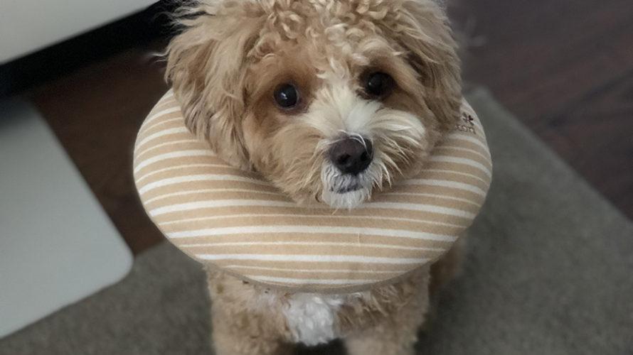 愛犬の皮膚疾患。舐めレベルの記録でわかった原因とその後の経過。