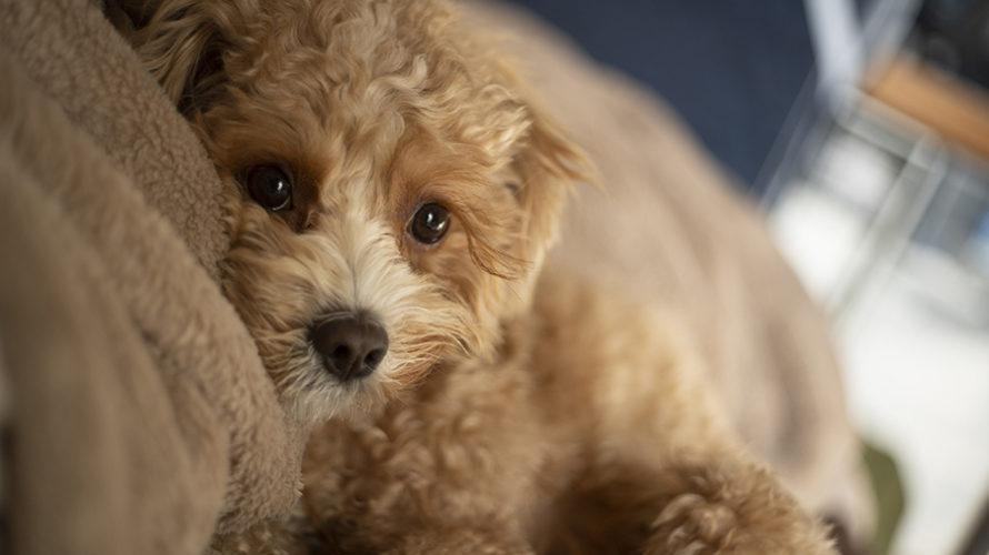 愛犬の真菌症(皮膚糸状菌症)治療の経過