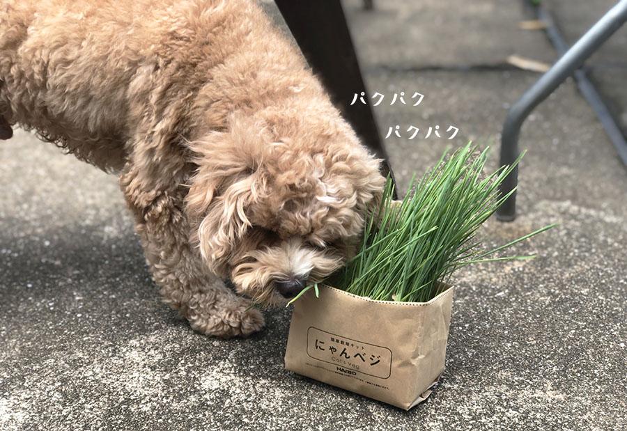 猫草を食べるブラン
