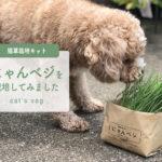 猫草栽培キット『にゃんベジ』を栽培して食べさせてみました。
