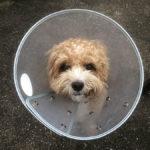 愛犬の皮膚疾患が悪化!エリザベスカラーの長さを変更してみた結果。