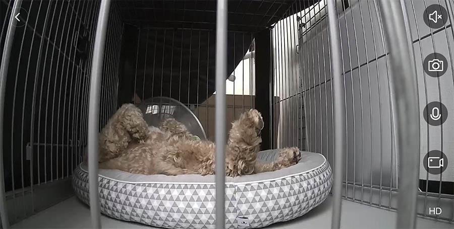 ニトリのペットベッドでヘソ天で寝るブラン