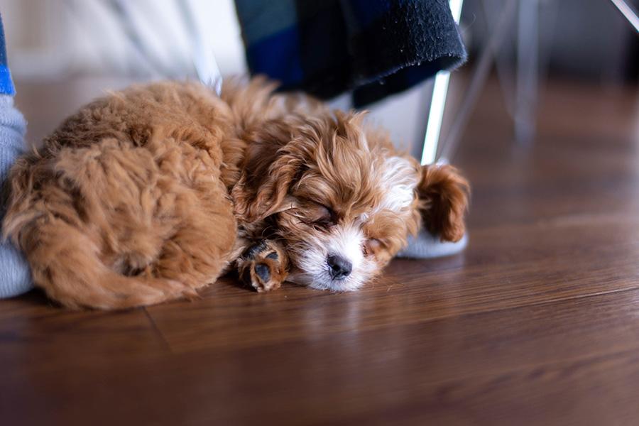 足元で眠る子犬期のブラン