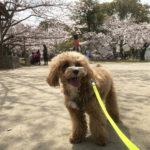福岡市中央区 花見をしに舞鶴公園へ行ってきました。