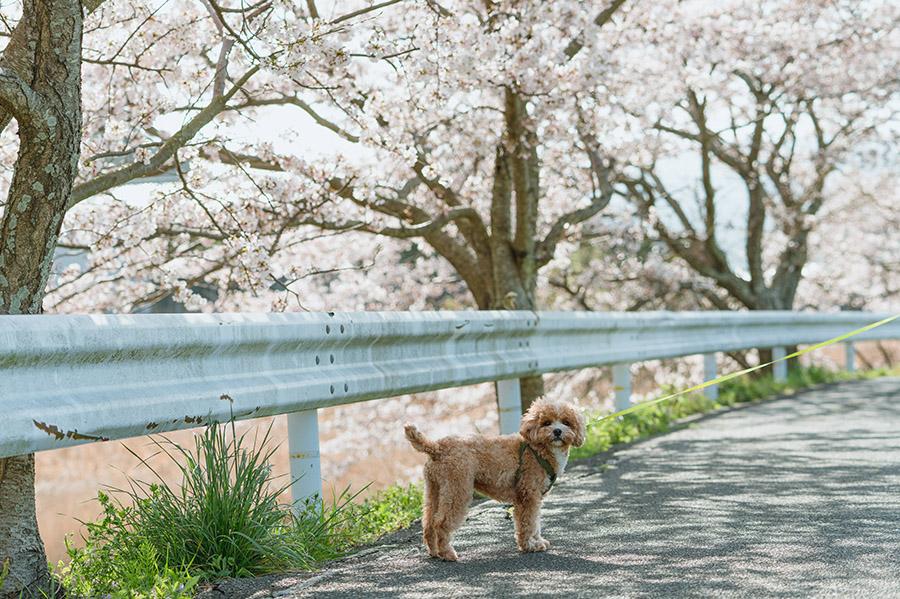 桜とキャバプーブラン