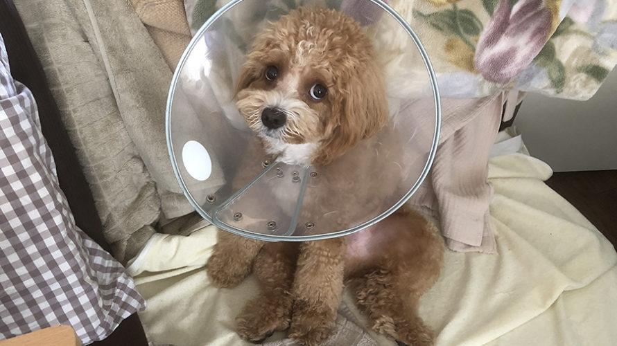 愛犬の皮膚を舐める癖は心の病。病名は「常同行動(強迫神経症)」と判明しました。
