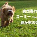 犬が突然狂ったように暴れまわる『ズーミー(Zoomies)』とは? | 我が家の体験記